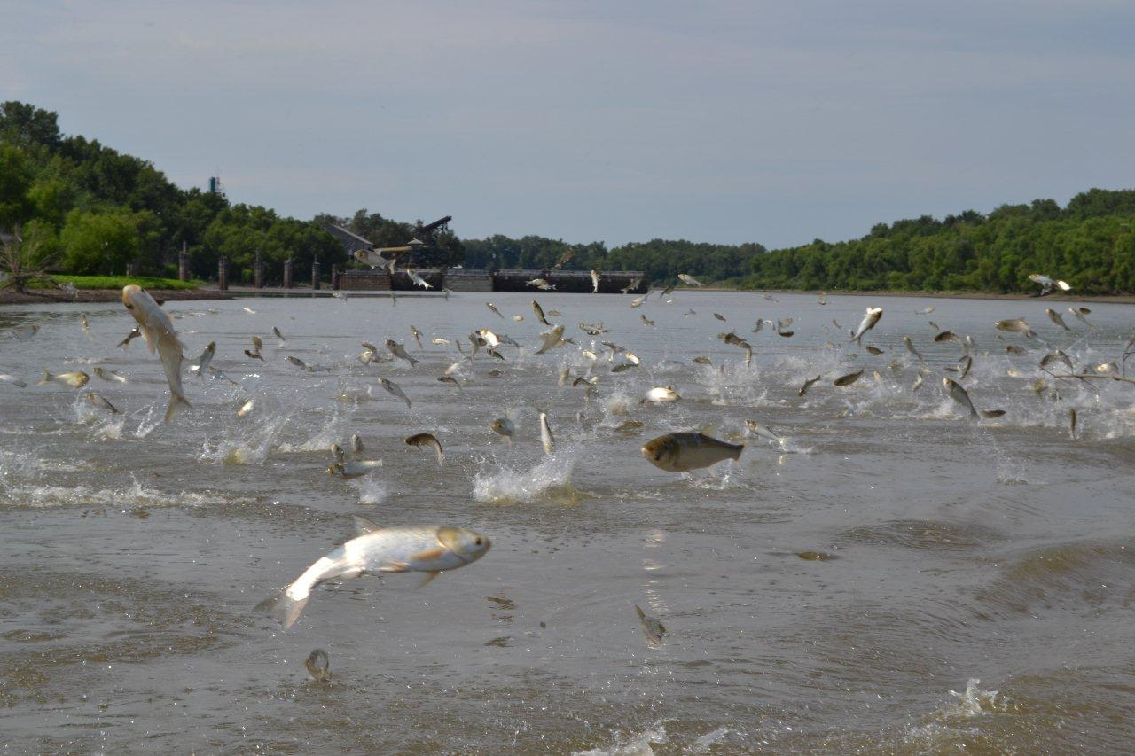 Op-Ed: Time's running out from stopping Asian carp from invading our Great Lakes