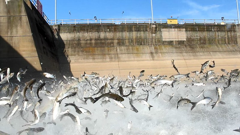 Conservation Groups Urge Congress to Fund Efforts to Stop Asian Carp